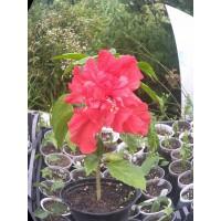 Гибискус малиново-красный махровый