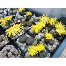 Литопсы или Живые камни