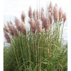 Пампасная трава розовая