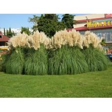 Пампасная трава белая