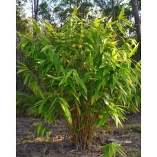 Тигровая трава, бамбуковая трава
