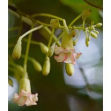 Баухиния малабарика