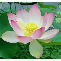 Лотос орехоносный светло-розовый