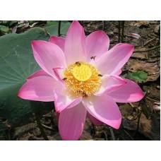 Лотос орехоносный розовый