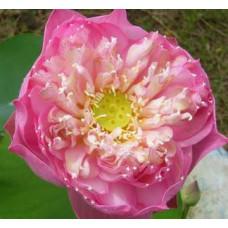 Лотос орехоносный розовый махровый