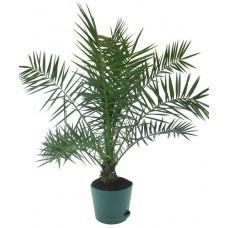 Пальма финиковая канарская