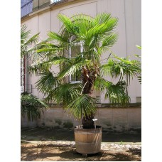Пальма трахикарпус форчуна