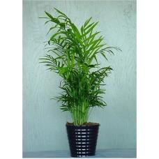 Пальма хамедорея изящная