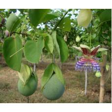 Пассифлора яблоковидная