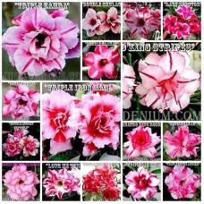 Адениум розовый махровый смесь