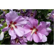 Гибискус сирийский фиолетовый