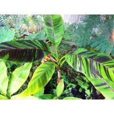 Пальма банановая Красный тигр