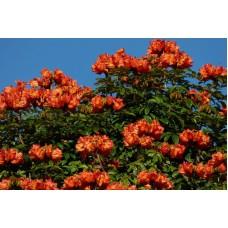 Спатодея, африканское тюльпанное дерево