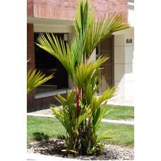 Пальма циртостахис