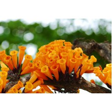 Радермахера оранжево-красная