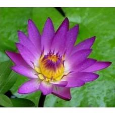 Нимфея фиолетовая