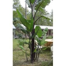 Пальма банановая Атия черный