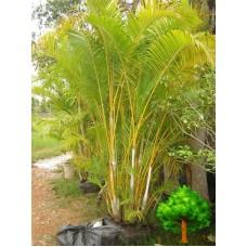 Золотистая тростниковая пальма