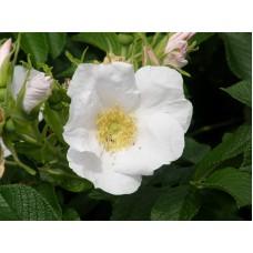 Роза морщинистая белая