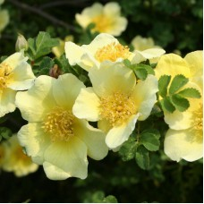 Роза желтоватая