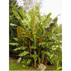 Пальма банановая Дарджилинг