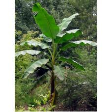 Пальма банановая Юньнань