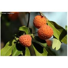 Клубничное дерево