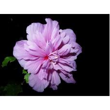 Гибискус сирийский розово-фиолетовый махровый