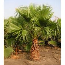 Пальма вашингтония филибуста