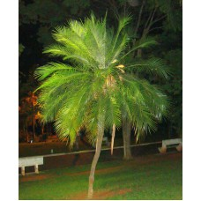 Пальма сиагрус Румянцева
