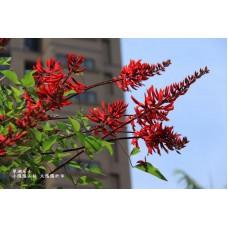 Эритрина коралловое дерево